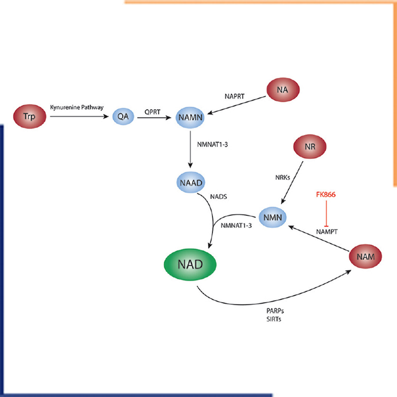 NAPRT_Nicotinamide adenine dinucleotide metabolism